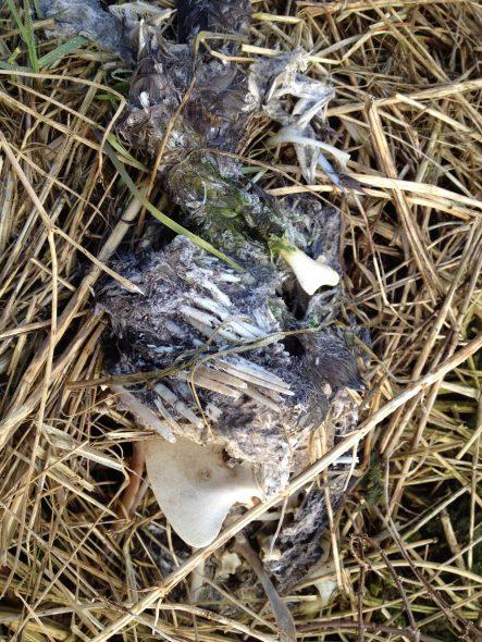Grafheuvel Everingen dode duif