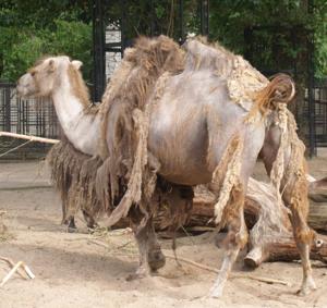 Verharende kameel.